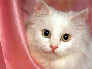 tous les chats blancs sont ils sourds conseils du v t rinaire. Black Bedroom Furniture Sets. Home Design Ideas