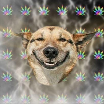Intoxication au cannabis chez un chien