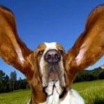 nettoyage oreille chien