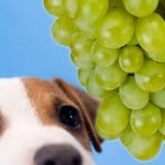 intoxication au raisin chez le chien