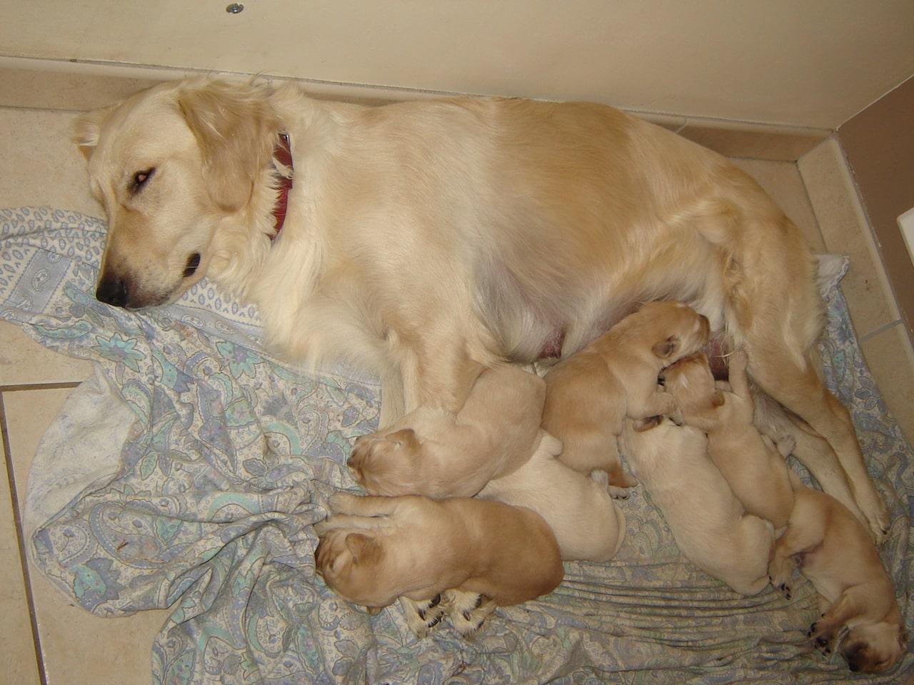 Les photos de la chienne guipsy et sa port e n e le 01 septembre 2012 conseils veterinaires - Temps de portee d une chienne ...