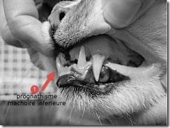 prognathisme chat acromegalie