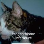 acromégalie_chez_le_chat