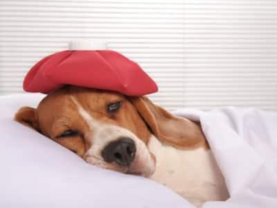 migraine-chez-le-chien
