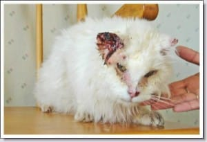 cancer peau oraille chat blanc