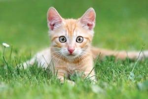 stérilisation-précoce -chat