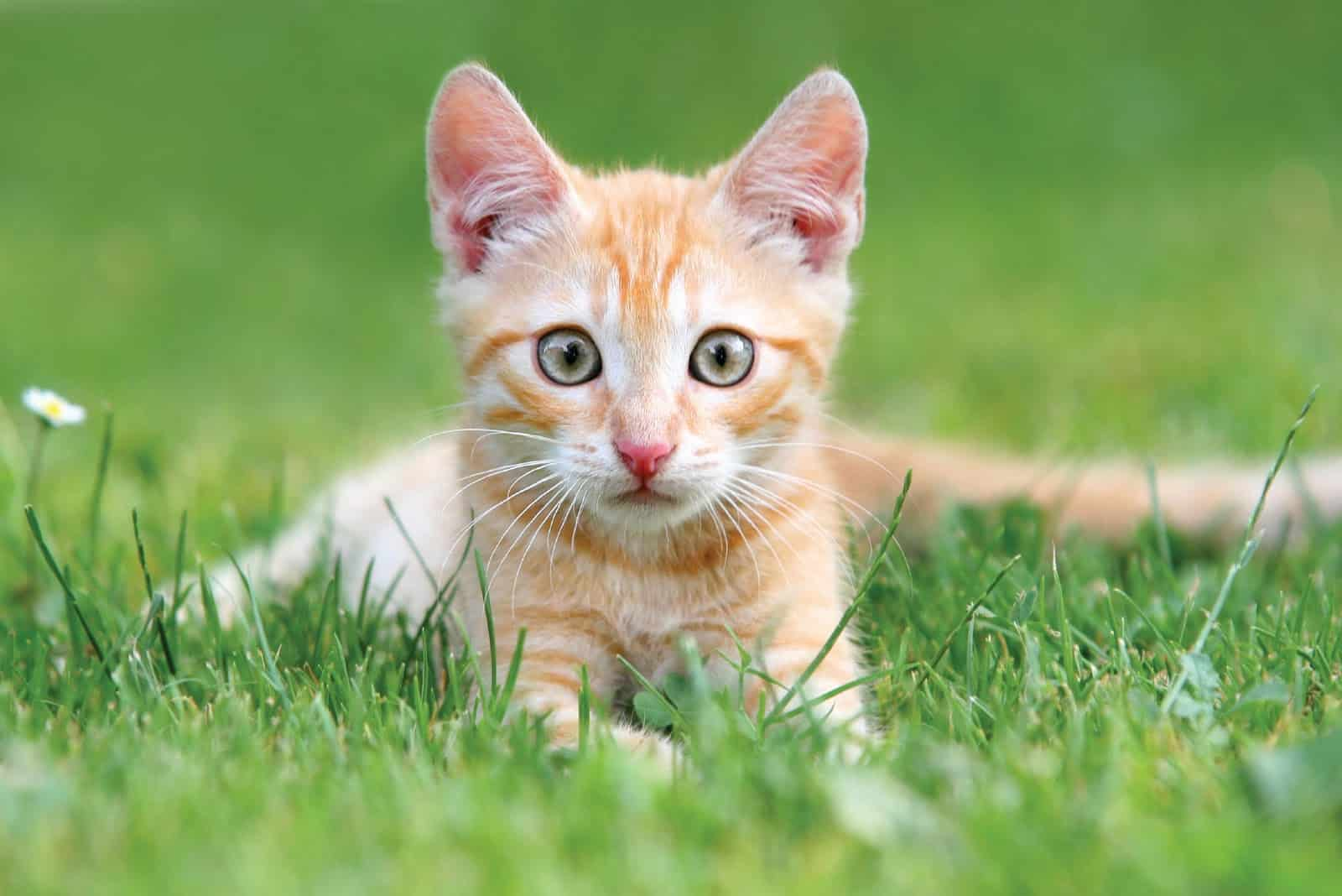 stérilisation précoce du chat