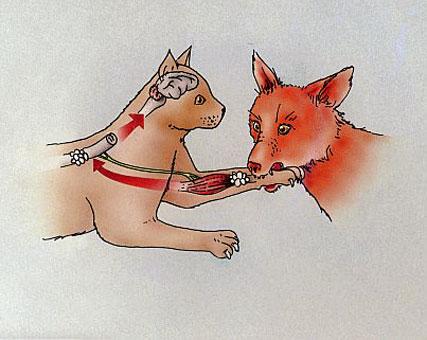 la rage transmise par morsure de renard
