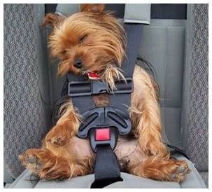 mal de transport du chien