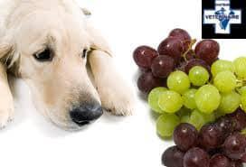 intoxication au raisin chez le chien