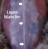 ligne_blanche