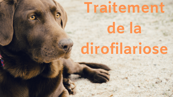 traitement de la dirofilariose