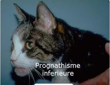 L'acromégalie chez le chat est elle rare ou sous diagnostiquée ...