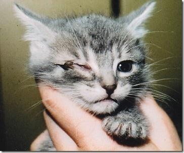 acute-conjunctivitis-in-a-kitten