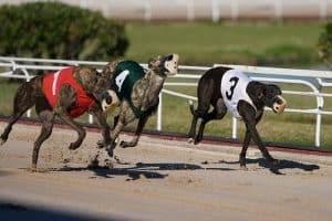 dopage-chien-course