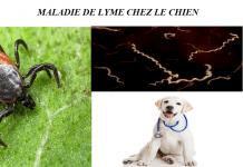 MALADIE-DE-LYME-CHEZ-LE CHIEN