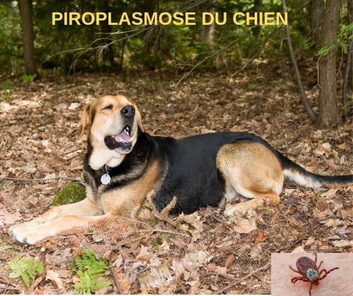 piroplasmose-du-chien