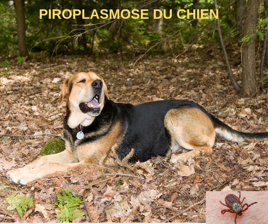 La Piroplasmose Canine Est De Plus En Plus Présente En