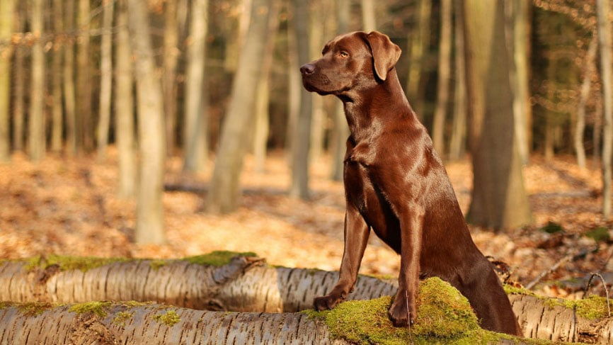 pelage-brillant-chien