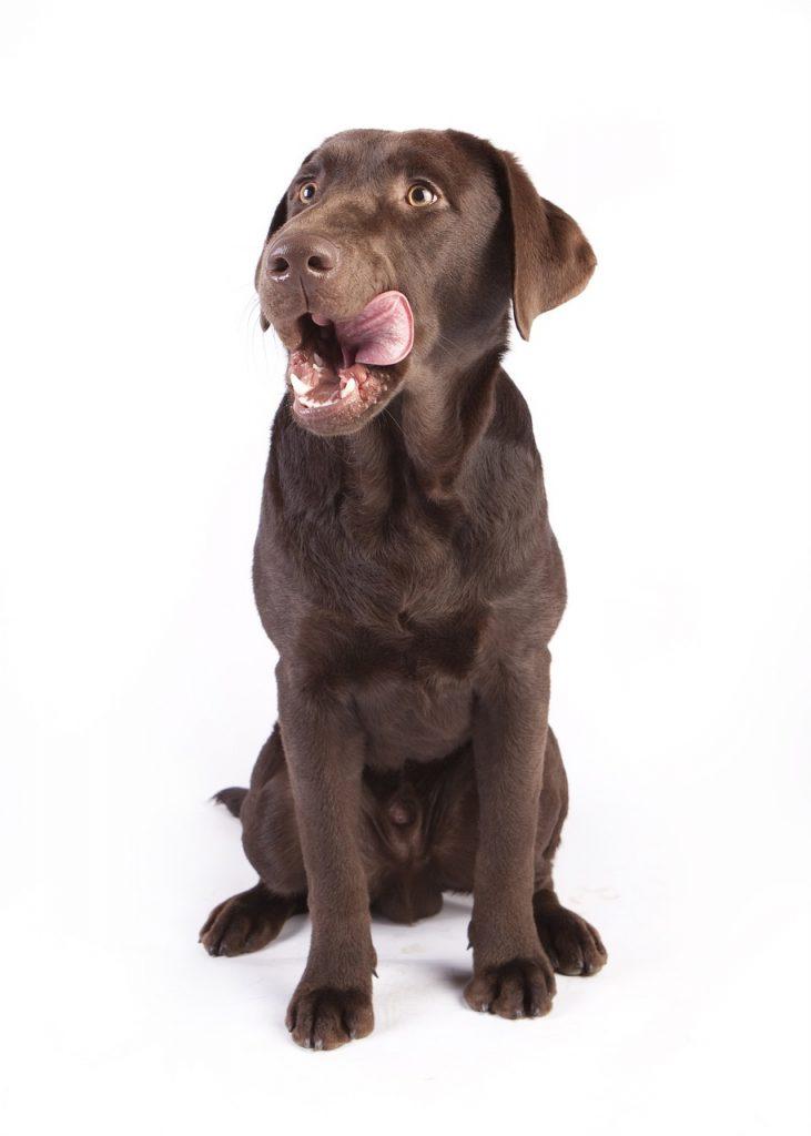 alimentation pour un chien en bonne santé