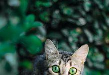 chat fugue