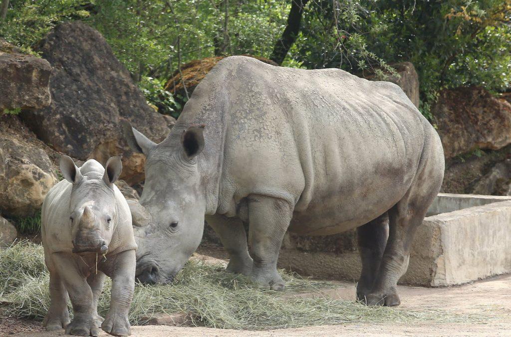 rhinocéros zoo