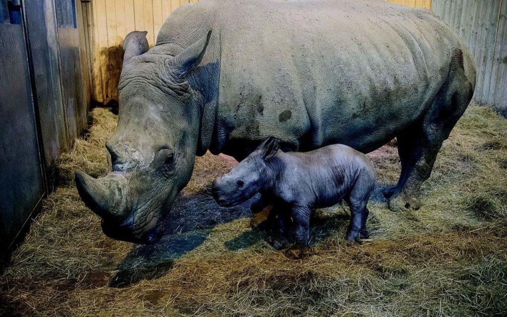 rhinocéros et rhinocéron