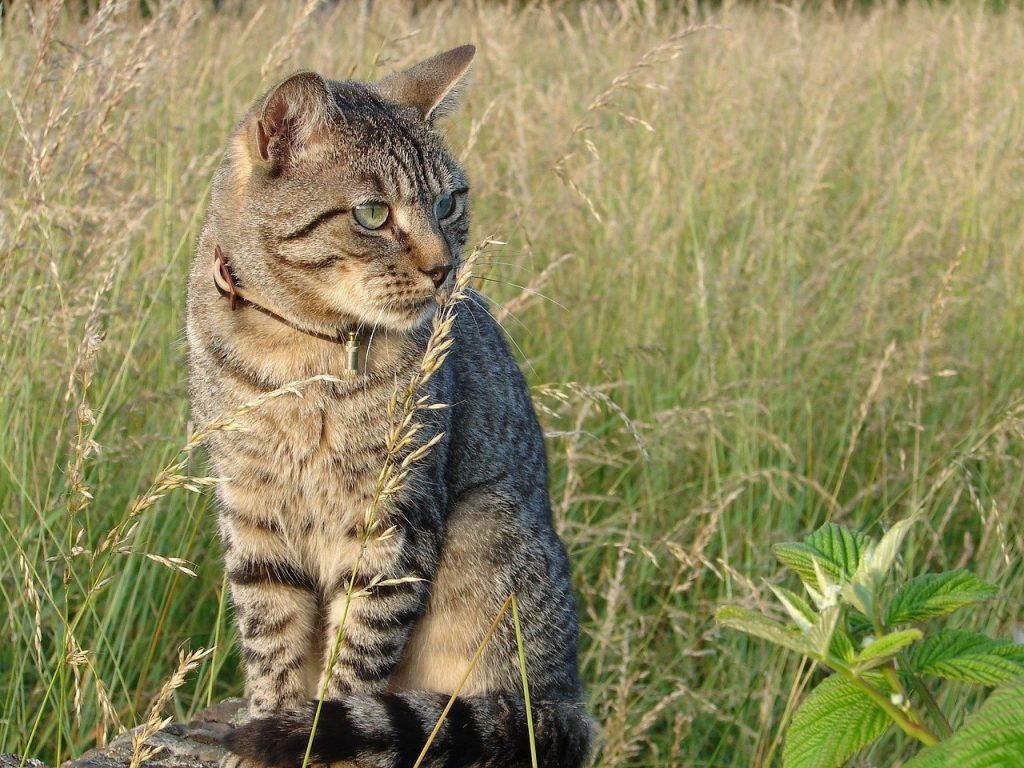 collier à une chat